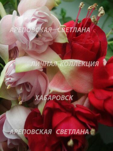 НОВИНКИ ФУКСИЙ. - Страница 5 0_158249_8f216a5c_L