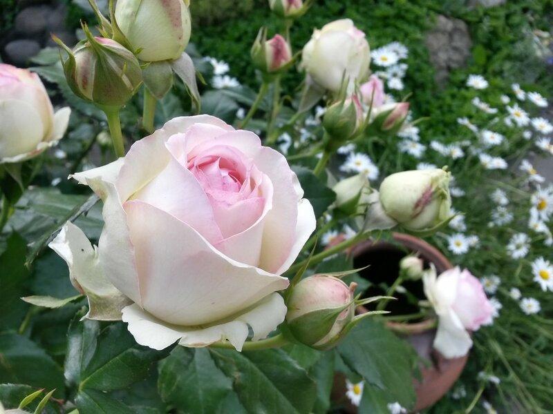 роза Pierre de Ronsard