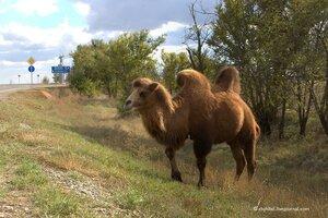 Верблюды на обочине