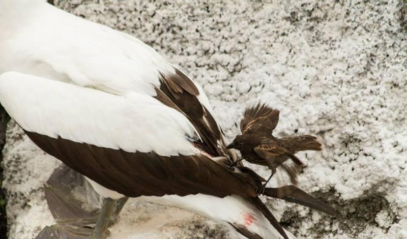 2. Зяблик-вампир Свое прозвище эта остроклювая птичка получила за свою кровожадную натуру и отвратит