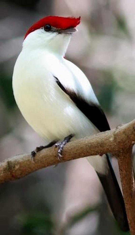 Арарипи Бгму, одна из самых редких птиц в Бразилии.jpg