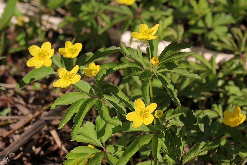 Цветки лютика у речки 1 мая