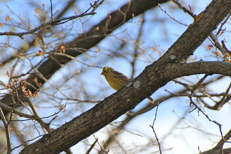 Обыкновенная овсянка (Emberiza citrinella) на ветке дерева: похожая на воробья певчая птица яркой жёлтой окраски