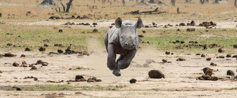 Детёныш носорога. Автор фото: Jason Wharam