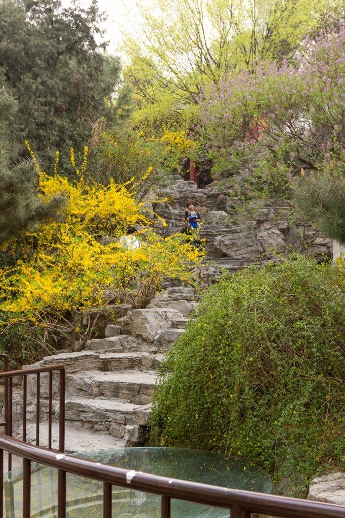 Гора и цветущая форзиция, парк Бэйхай