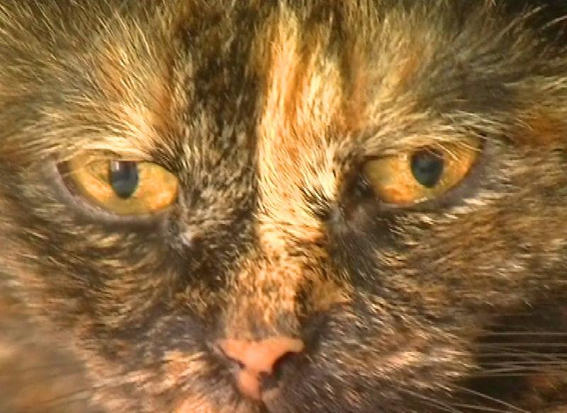 Кошка - донор