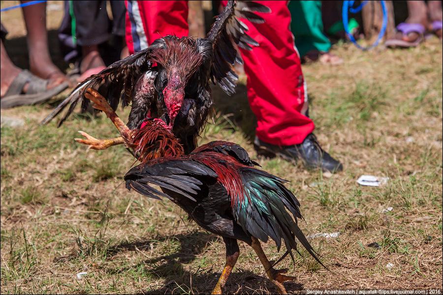 Петушиные бои на Мадагаскаре