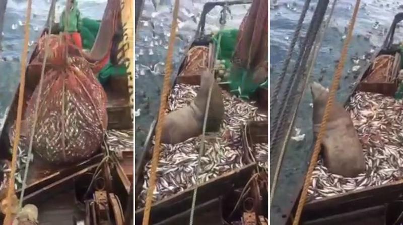Огромный морской лев попал в сети к российским рыбакам