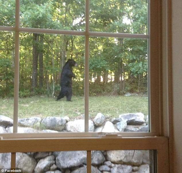 Двуногий медведь впервые был замечен в городе Оук-Ридж, штат Нью-Джерси в 2014 году. В штате Нью-Дже