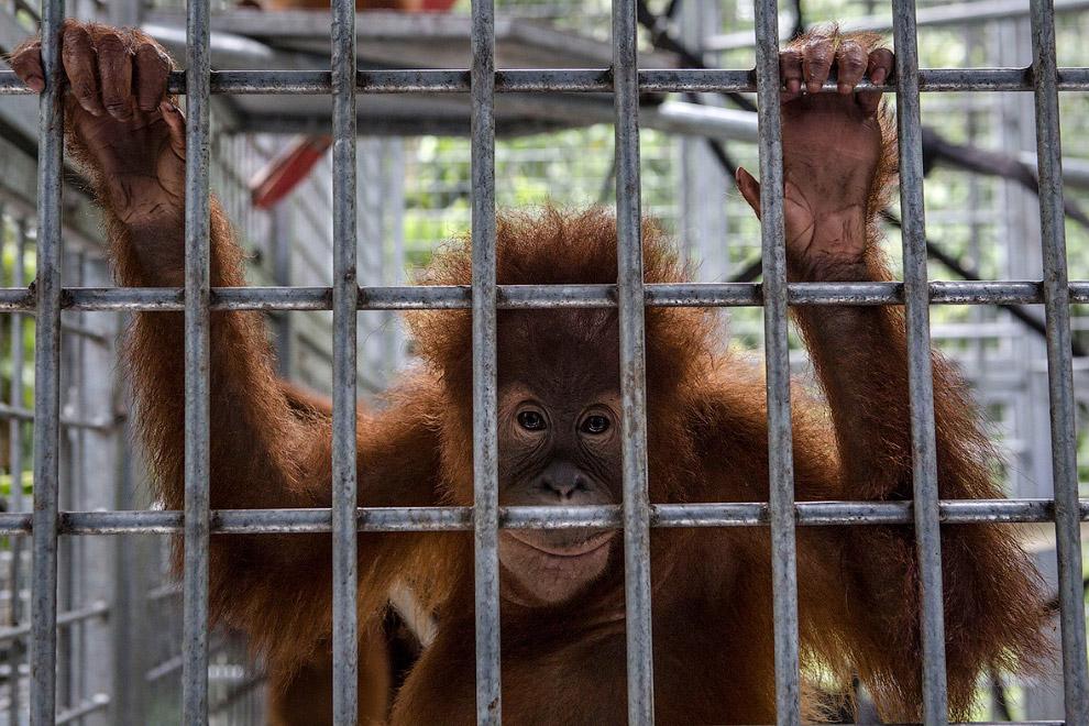 Это одна из наиболее близких к человеку обезьян по гомологии ДНК. (Фото Ulet Ifansasti):