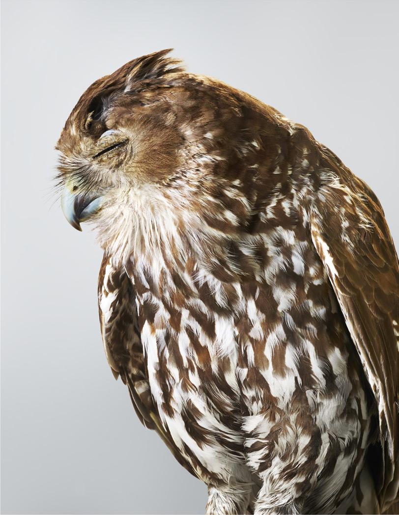 Yule . Barking Owl.