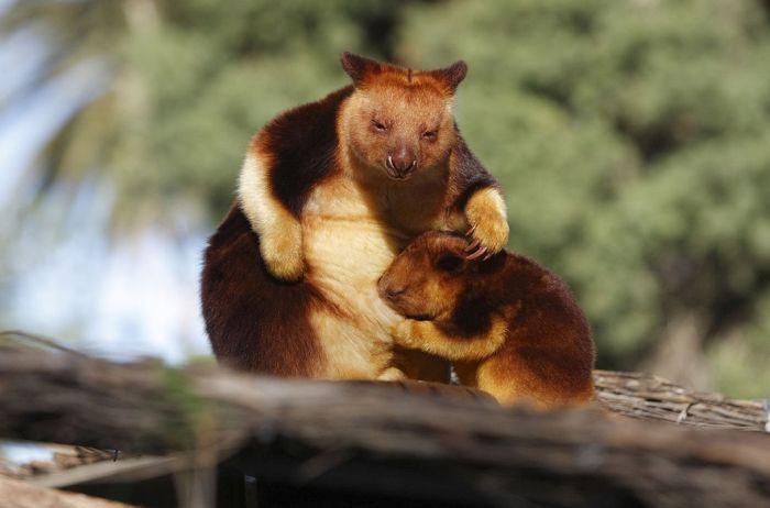 Древесные кенгуру. Обитают в высокогорных тропических лесах Индонезии, Папуа — Новой Гвинеи и Австралии. Являются отличными скалолазами и могут прыгать с одного дерева на другое на расстояние 9 м