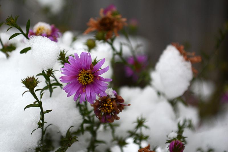 цветы в снегу 2.jpg