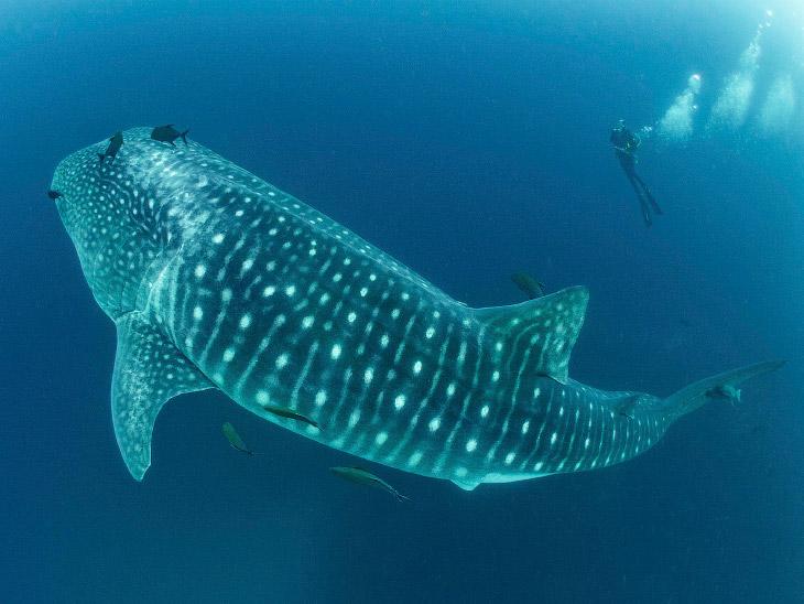 Заплыв с самой крупной в мире акулой (7 фото)