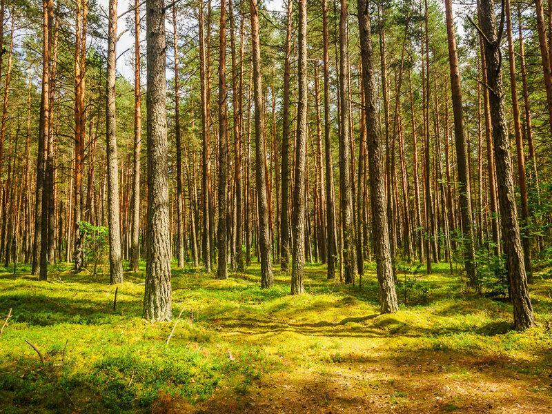 Сосновый лес в Нарочанском парке.