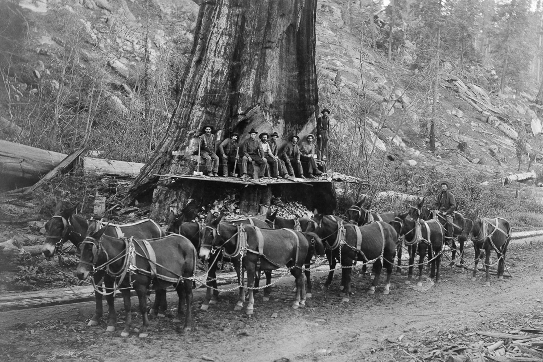 1917. Лесорубы и десять мулов готовы к падению гигантской секвойи. Калифорния