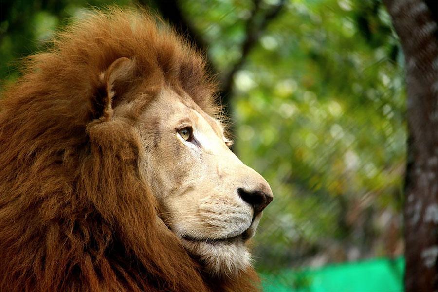 День дикой природы. Лев