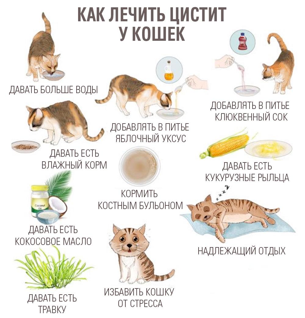 как лечить цистит у кошек