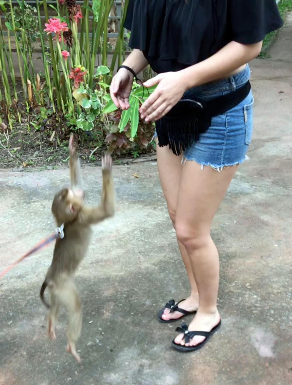 Нахальная обезьянка чуть не раздела туристку в Таиланде