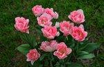 тюльпаны кораловые.jpg