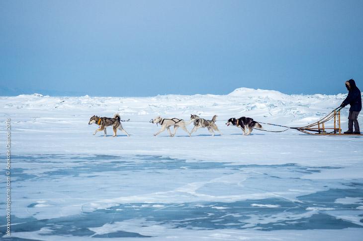 На собаках по Байкалу (19 фото)