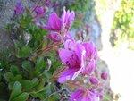 Ещё цветок камчатки - карликовый багульник..jpg
