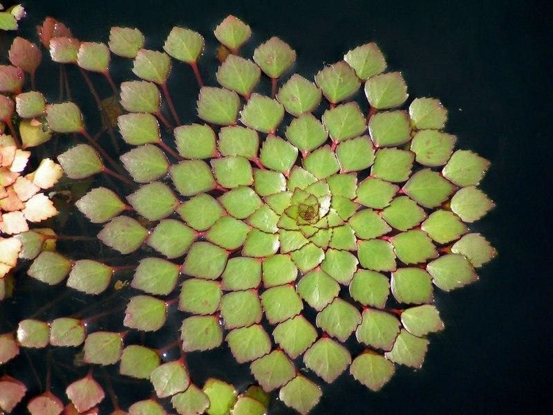 Фибоначчи и фракталы в природе: растения с идеальной геометрией (9 фото)