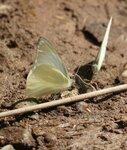 Лаос Бабочка  10