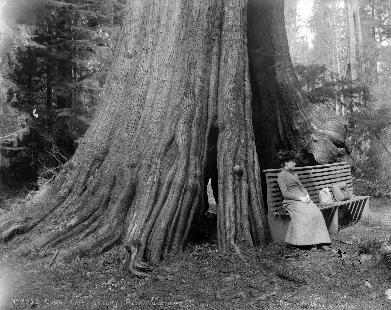 Кедровое дерево, Стэнли-Парк, Ванкувер