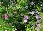 Clematis 'Crystal Fountain'. Rosa Rugosa 'Foxi' and Paul's.