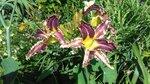Цветет лилейник Эйт Майлс Хай (Eight Miles High)