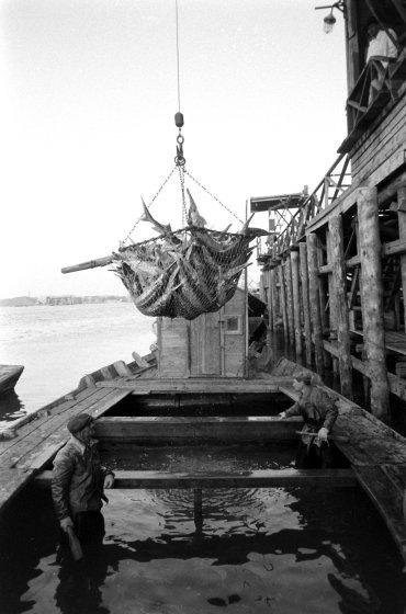Икра вынимается из еще живой рыбы, поэтому рыбаки глушат ее дубинками, стоя в воде. Учитывая ценност