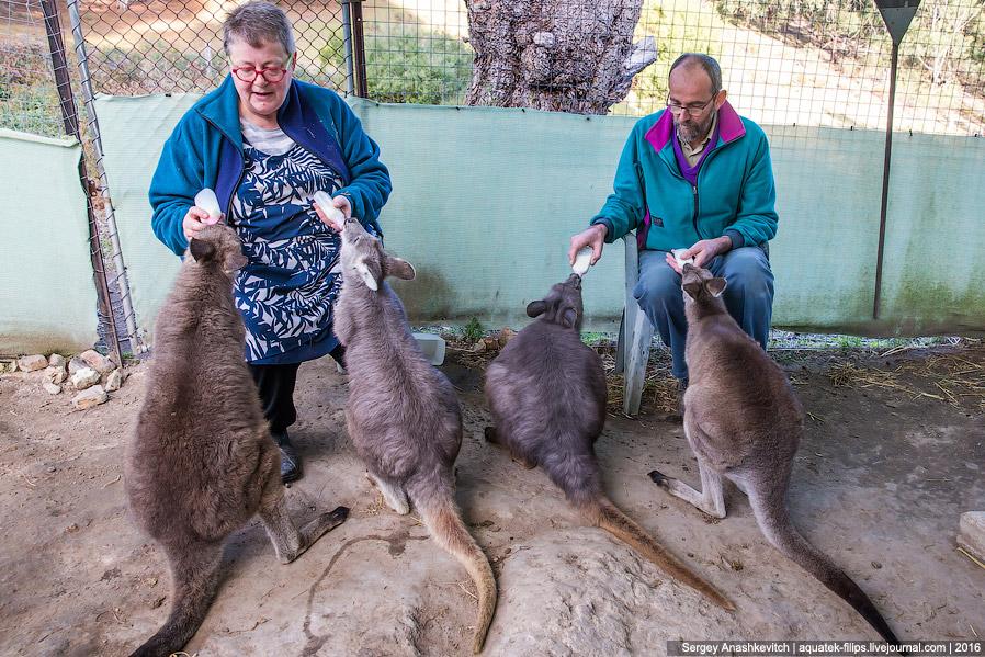 7. Когда первый кенгуренок подрос, Дайана поняла, что животных нельзя сильно приручать, т.к. эт