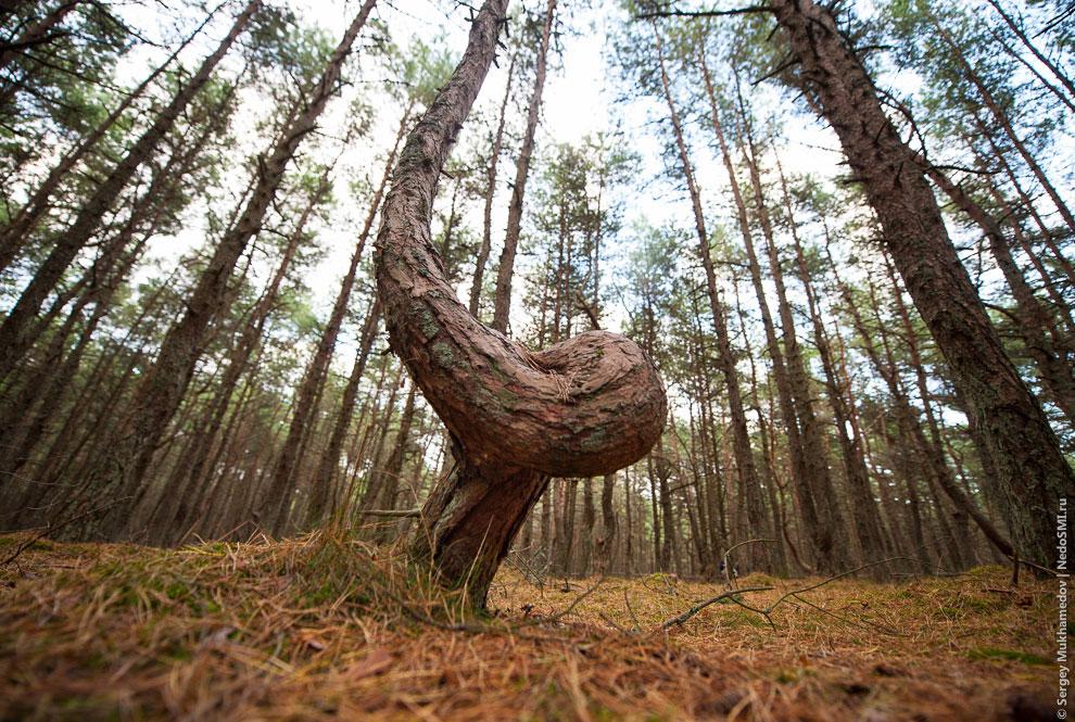 Причину аномального строения деревьев до сих пор не установили. Версий существует много, от лич