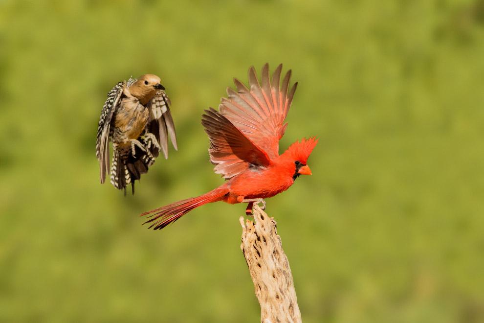 5. Красавец тупик на островах Фарн . Русское название «тупик» происходит от слова «тупой» и свя