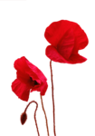 calguiscoquelicots19110.png