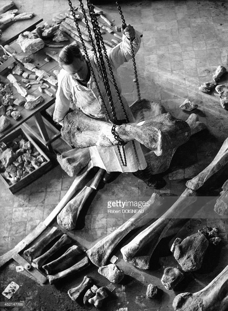 1943. Национальный музей естествознания. Галерея сравнительной анатомии и палеонтологии. Лаборатория палеонтологии
