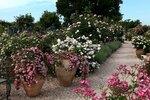 Розы садовые в горшках