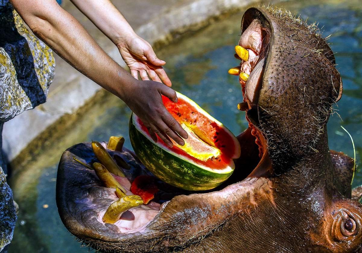 Ну не фига себе! А куда вы дели вторую половику арбуза: Про аппетиты настоящих бегемотов