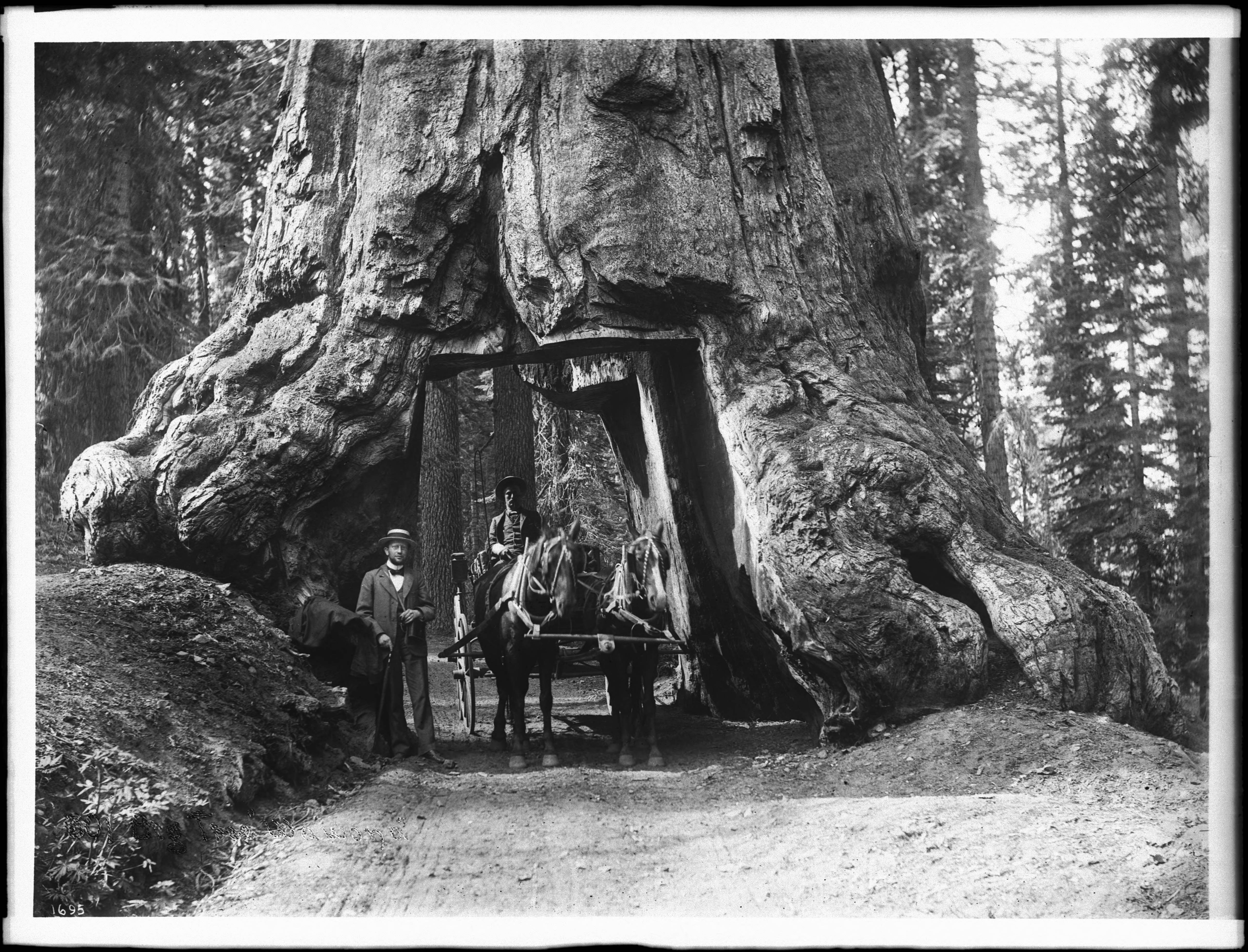 1900-е. Конный экипаж, проезжающий через проем в Большом дереве в большой роще Марипоса, Калифорния