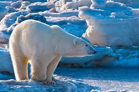 27 февраля Международный день полярного медведя. Медведь среди льдин