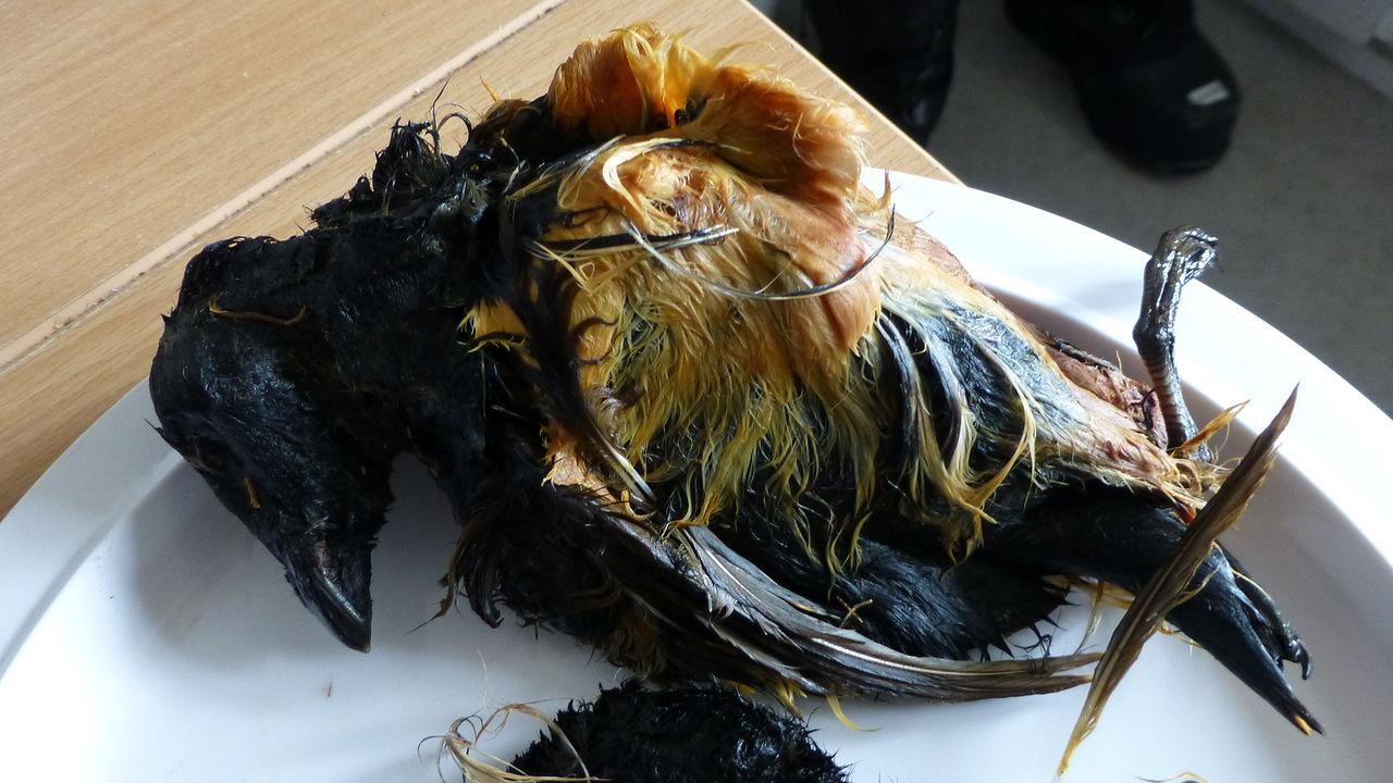 Деликатес на любителя – Кивиак: любимое блюдо эскимосов (4 фото)