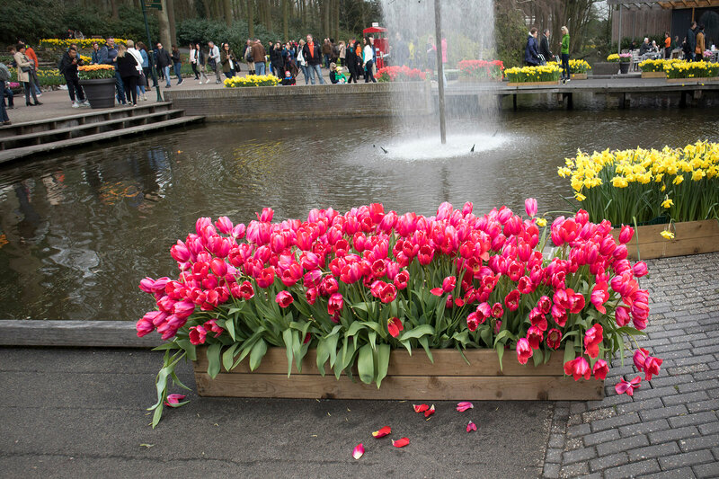 the Red tulips and yellow daffodils near a fountain in the background of trees in a botanical garden in Keukenhof