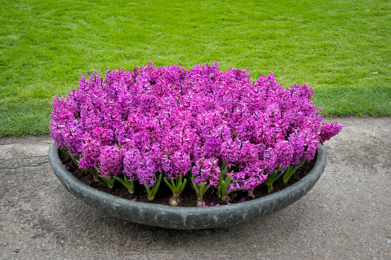 the Violet hyacinths in a giant stone vase on the path in the botanical garden