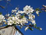 Сезон цветенья открывает алыча...5