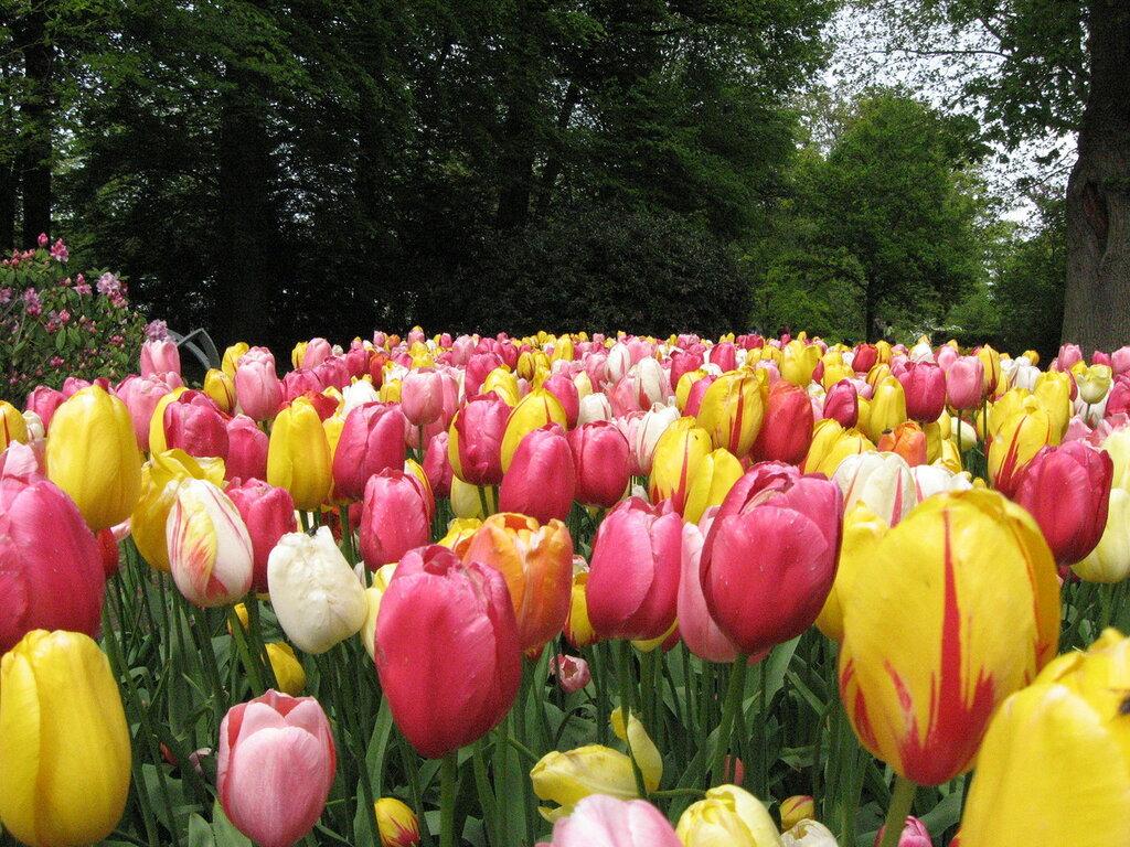 Тюльпанов много не бывает