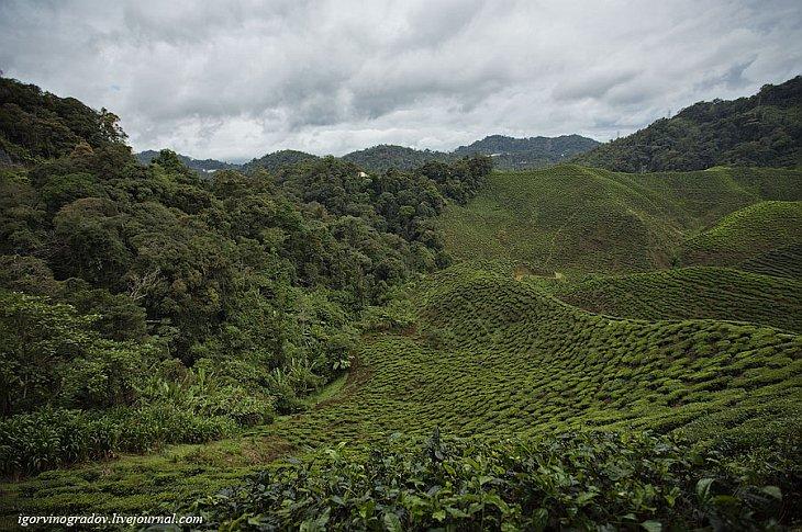 Чайные плантации Камеронских гор (23 фото)