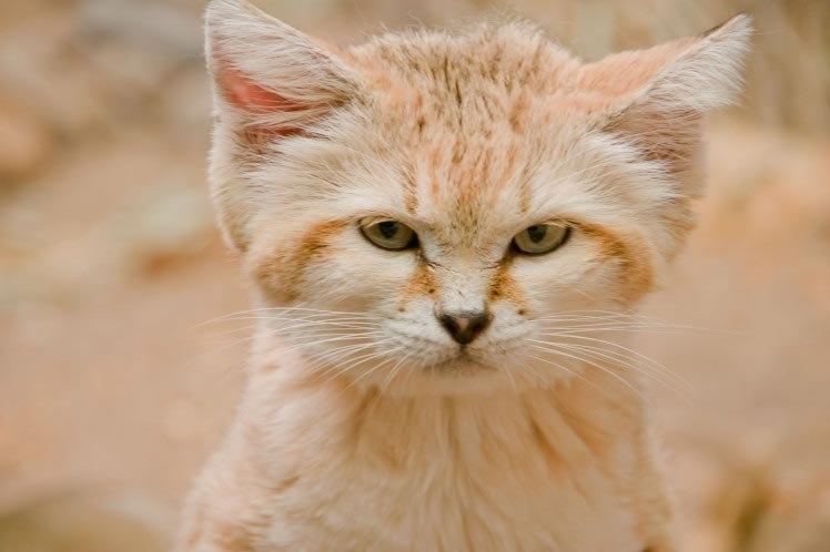 Отличные новости для любителей кошек — барханные кошки выглядят как котята на протяжении всей жизни (8 фото)