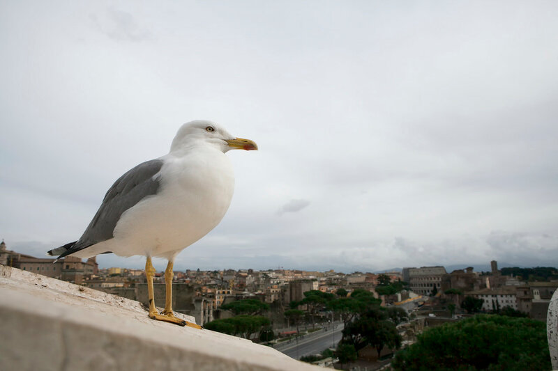 the Seagull Bird on the ruins of the Roman Forum, Italy