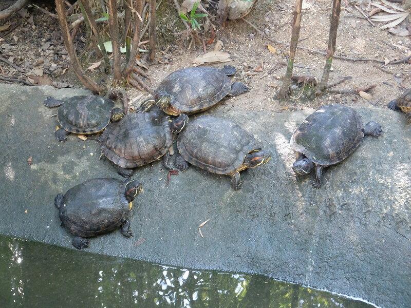 Чиангмай - Зоопарк - Пестроголовые черепахи